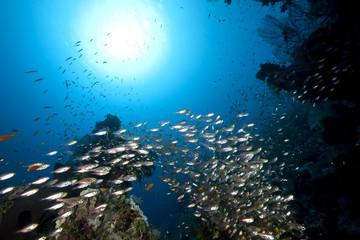Fototapeta na wymiar ocean, coral and golden sweepers
