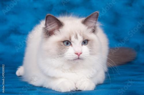Ragdoll Cat On Blue Kaufen Sie Dieses Foto Und Finden Sie ähnliche