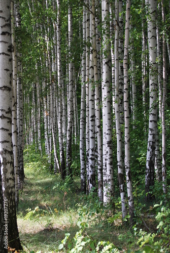 Deurstickers Berkbosje Birchwood
