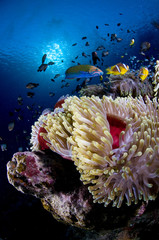 Fototapeta na wymiar poisson clown et anémone, clownfish