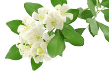 Fleurs Blanches Murraya Exotica, Bois Chine, Fond Blanc