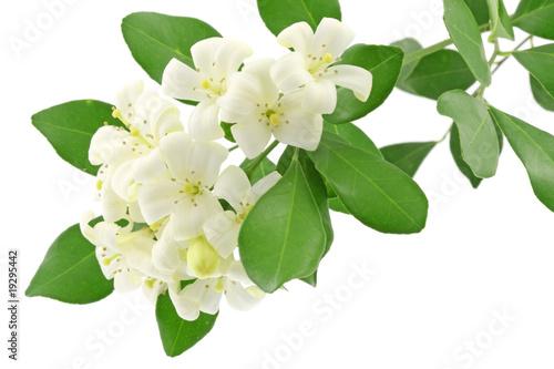 fleurs blanches murraya exotica, bois Chine, fond blanc Canvas Print