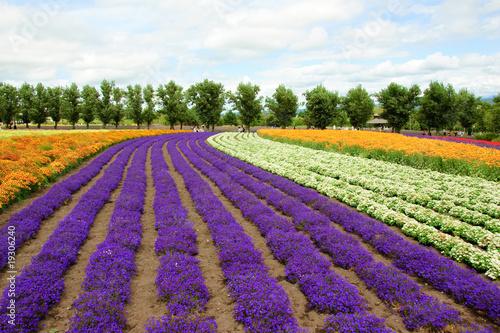 Poster Prune flower field in Hokkaido in Japan