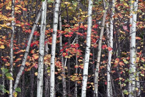 Deurstickers Berkbosje Autumn view into the forest
