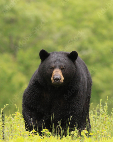 large male black bear