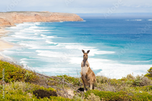Wild kangaroo in front of the ocean