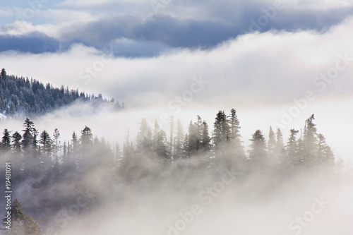 Poster Morning with fog Inspirational Pictures of Pine Trees covered in mist