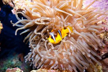Fototapeta na wymiar némo poisson clown dans une anémone