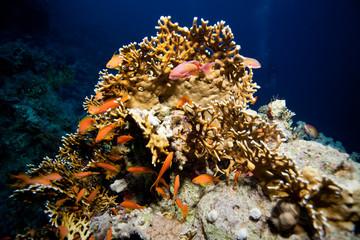 Fototapeta na wymiar corail