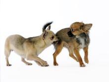 Pas De Danse De Deux Chihuahua...