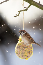 Eurasian Tree Sparrow At The F...