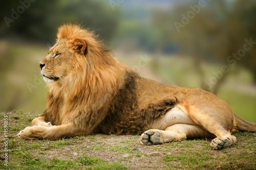 pieknego-lwa-meski-zwierzecy-dziki-portret