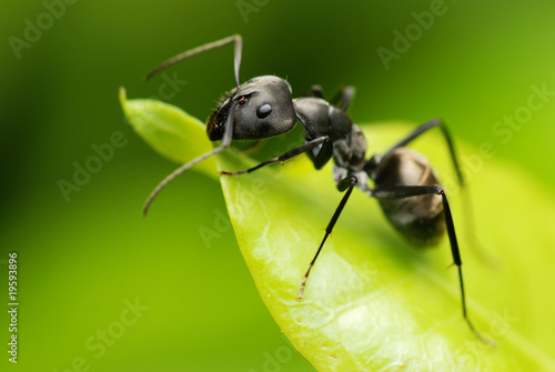 A black ant resting on green leaf