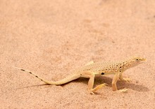 Mojave Fringe-toed Lizard (Uma Scoparia), A.k.a. 'sand Swimmer'