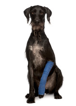 Lurcher, 3 Years Old, With Arm Cast Sitting, Studio Shot