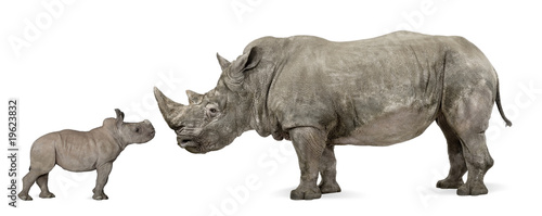 Spoed Foto op Canvas Neushoorn Mother and baby White Rhinoceros, Ceratotherium simum