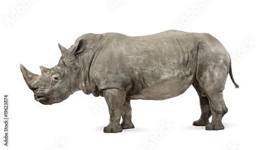 Foto op Canvas Neushoorn White Rhinoceros, Ceratotherium simum, 10 years old