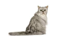 Old Silver Persian Cat, 12 Years Old, Sitting In Front Of White