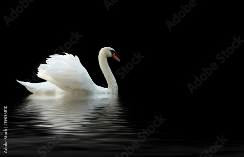 Poster Cygne swan