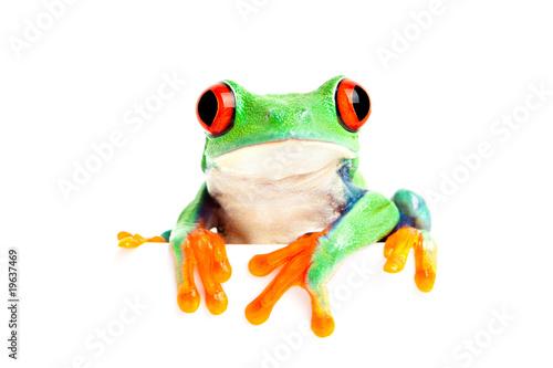 Tuinposter Kikker frog isolated on white for banner etc