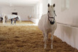 canvas print picture - gravid white mare in stable