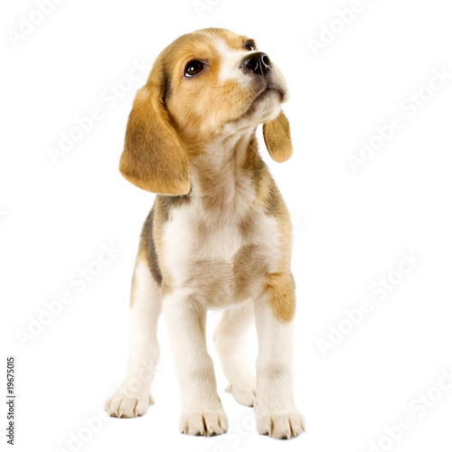 curious beagle puppy Canvas Print