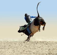 Cowboy Riding A Large Fresian ...