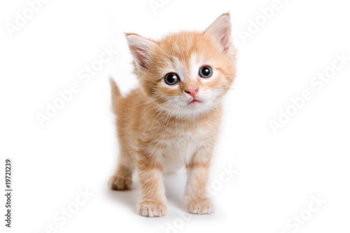 Canvas Print Kitten isolated on white background