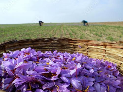 Poster Prune Saffron flowers