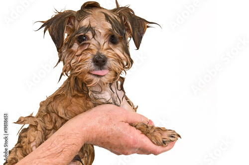 Maltese Yorkie Mix Puppy Getting A Bath Buy This Stock Photo And