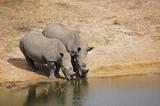 Fototapeta Sawanna - Nosorożce przy wodopoju
