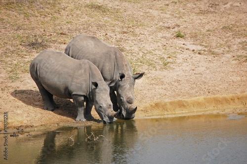Nosorożce przy wodopoju