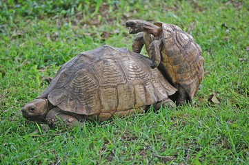 Żółwie igraszki