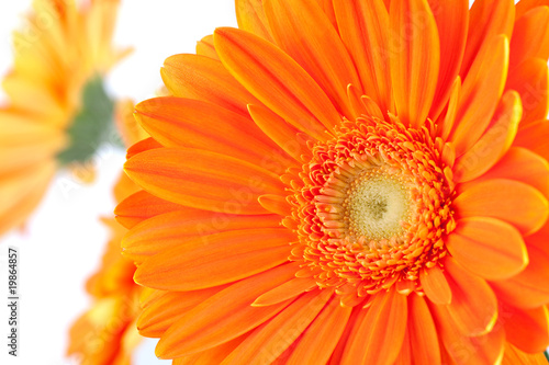 Tuinposter Gerbera Orange gerbera flowers