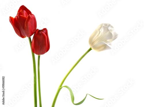 Wall Murals Tulip Tulips