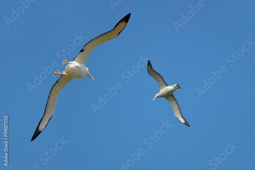 Obraz na plátně  Albatros dans la péninsule de l'Otago - New Zealand