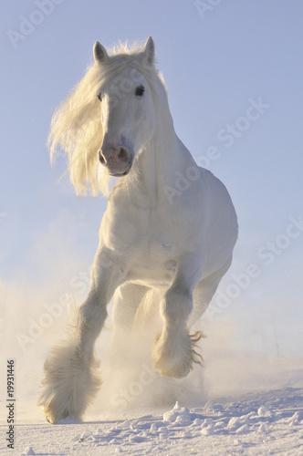 bialy-kon-biegal-galopem-w-zimie