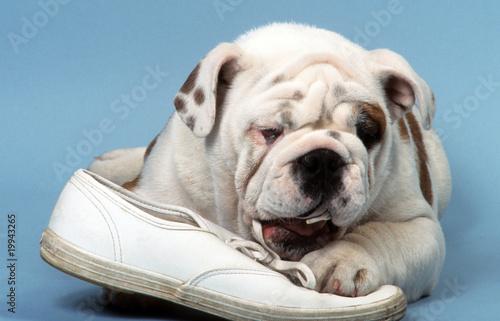 Photo bulldog anglais en train de détruire une chaussure