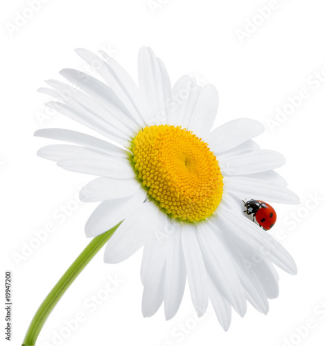 Foto op Canvas Madeliefjes Ladybug is sitting on camomile against sky