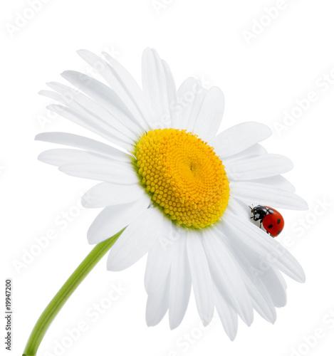 Foto-Schiebegardine ohne Schienensystem - Ladybug is sitting on camomile against sky