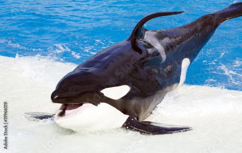 Carta da parati Killer whale