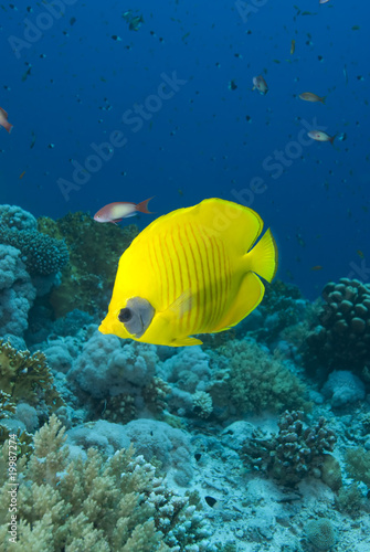 Fototapety, obrazy: Vibrant yellow tropical fish