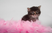 Kitten And Pink Feathers