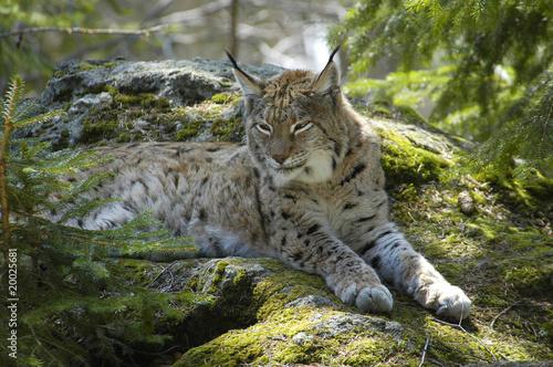 Staande foto Lynx Luchs Kuder