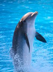 Fototapeta A Dolphin