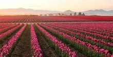 Skagit Valley Tulip Field At F...