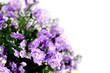 Flower campanula