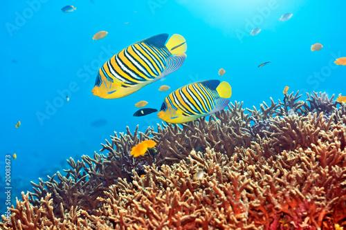 Montage in der Fensternische Unterwasser Royal angelfishes