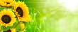 canvas print picture - nature et énergie - fleurs de tournesols sur fond vert