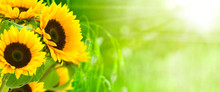 Nature Et énergie - Fleurs De Tournesols Sur Fond Vert